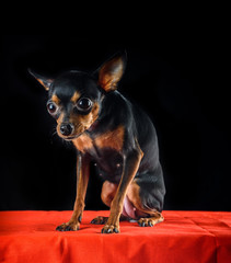 portrait of a small toy terrier on a dark background