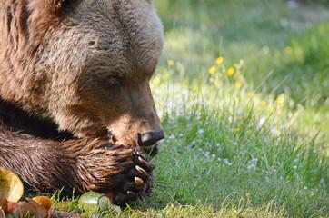 Braunbär beim essen