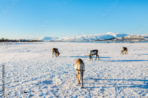 Foto op Aluminium Blauw Reindeer in Northern Norway