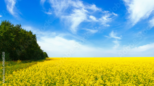 Plexiglas Geel Rapeseed field in the afternoon. Yellow flowers and blue sky with clouds. Beautiful summer background.