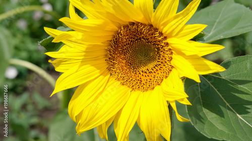 Keuken foto achterwand Geel Close-up of colorful sunflower, sunflower's field, green leaves