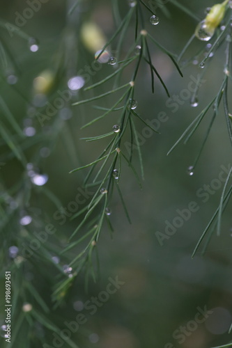 Asparagus branches background with water drops after rain