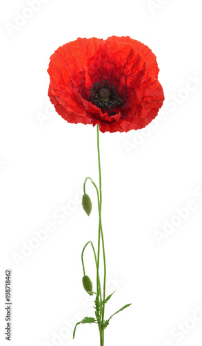 Foto op Canvas Klaprozen Poppy flower on white background