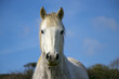 Beautiful white horse with blue sky and white clouds