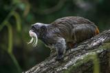 Portrait of funny bearded emperor tamarin monkey from Brazil jungles