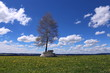 Spring field with dandelions and birch, blue sky with white clouds  - 198749084