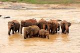 Elephant, Pinnawala Elephant Orphanage Sri Lanka