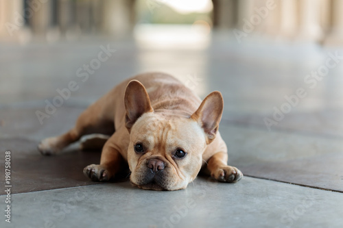 Plexiglas Franse bulldog French Bulldog lying down on the floor. Young Male Frenchie resting in a building hallway.