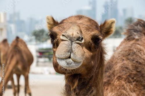 Fototapeta camel market in Doha, Qatar