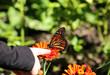 Child tries to get a monarch butterfly to land on her finger.