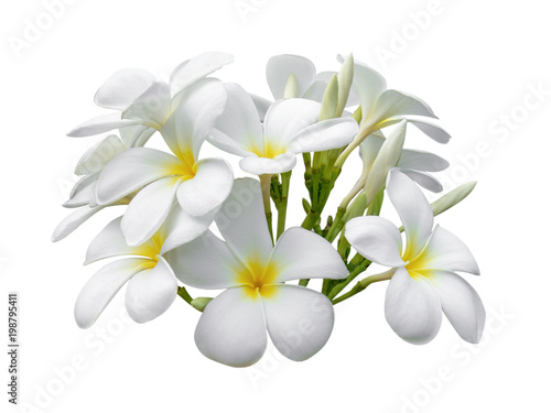 Aluminium Plumeria Tropical flowers frangipani (plumeria) isolated on white background