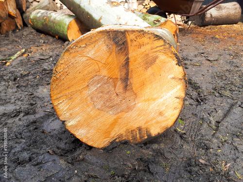 Foto op Aluminium Brandhout textuur macro texture of beech tree logs
