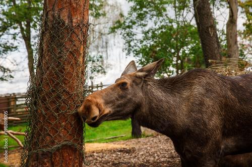 Foto op Aluminium Stockholm Moose in zoo