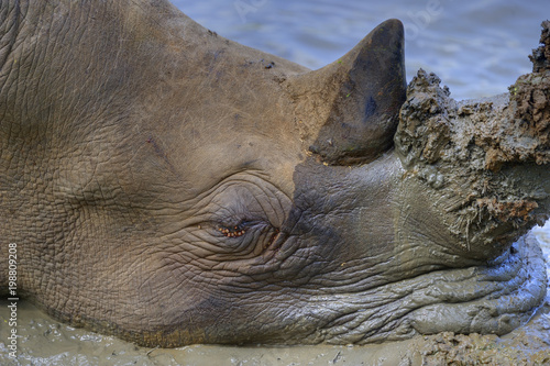 WHITE RHINOCEROS ( Ceratotherium simum). in danger of extinction due to unrestrained poaching throughout its last strongholds in South Africa.