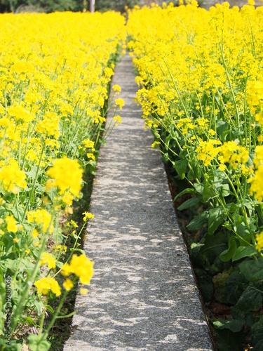 Keuken foto achterwand Geel 菜の花の道