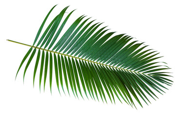 Green leaves of palm tree