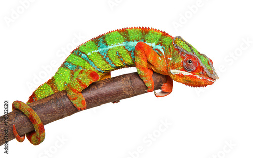 Plexiglas Kameleon Chameleon on branch