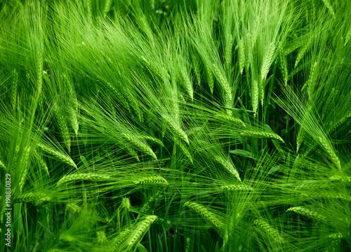 Foto op Plexiglas Groene green wheat field background