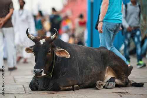 Cow lying on the street of the Indian city.