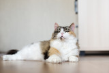 beautiful fluffy cat resting indoors