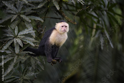 Foto Murales White-faced Capuchin - Cebus capucinus, beautiful bronw white faces primate from Costa Rica forest.