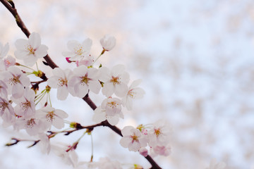 Cherry blossom in the clear sky