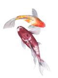 Koi Carp Watercolor painting. Watercolor hand painted cute animal illustrations. - 198852282