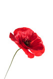 poppy flower isolated