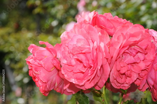 Detail of a pink rose flower in summer - 198864231