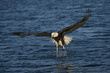 Mature Bald Eagle coming out of the water with a fish in one talon