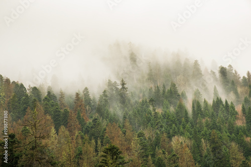 Fotobehang Khaki coniferous green trees in the fog, clouds in the mountains landscape background