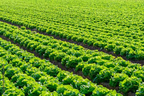 Foto op Plexiglas Groene Salatfeld - Farm mit frischem grünen salat