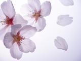 美しい桜の花びら - 198887630