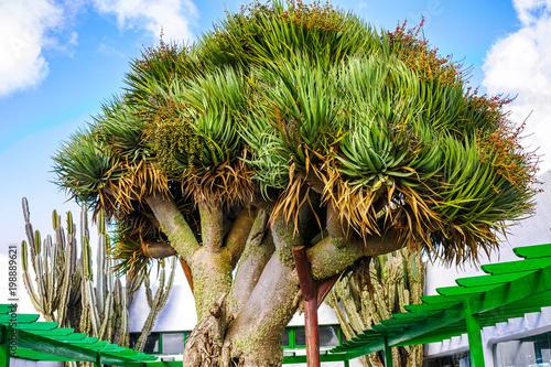 Fotobehang Canarische Eilanden Old big green Dragon tree, Canary Islands, Spain