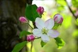 Apfelbaumblüte in Südtirol
