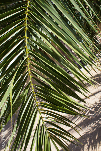 The leaves of the date palm. Natural natural background. Close-up. - 198894245