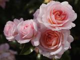 Roses in a garden