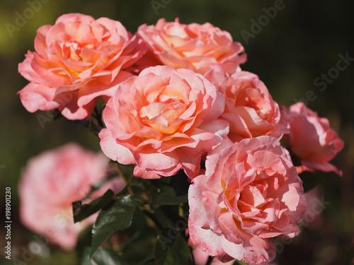 Roses in a garden - 198901230