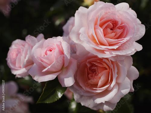 Roses in a garden - 198901237