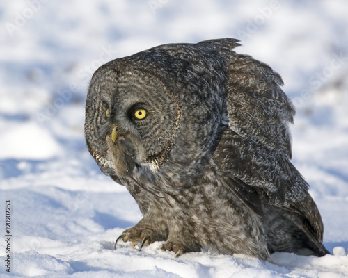 Great Gray Owl with a mouse in winter