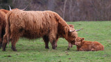 Highland Cow with Calfs