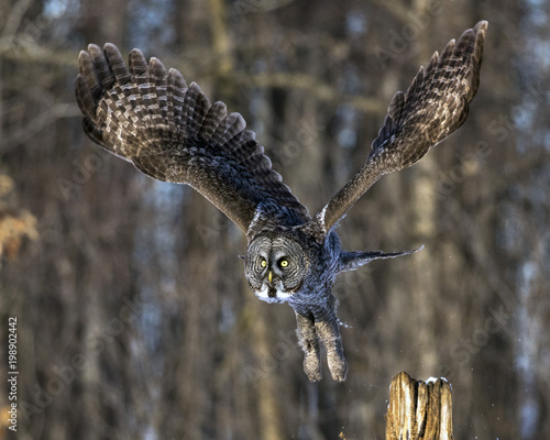 Great Gray Owl taking off from a post too