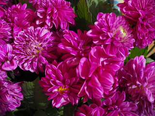 Bright Pink Dahlia flowers at the Farmers Market