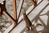 Red squirrel leans on terrace fence - 198925402