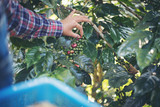 woman hand is harvesting the coffee beans, Picking coffee bean from coffee tree