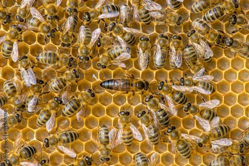 Plexiglas Bee The queen bee swarm - selective focus