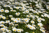 Daisy flower garden in sunny day, close-up