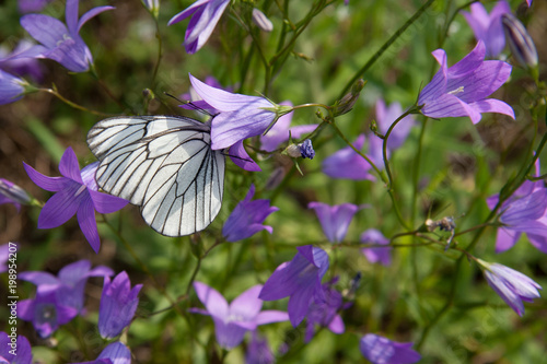 Blueball Batterfly - 198954207