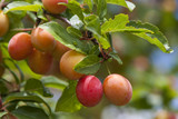 Mirabellen am Baum  (Prunus domestica subsp. syriaca) - 198981818