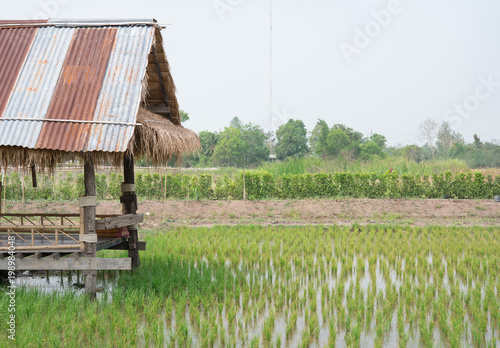 Fotobehang Rijstvelden Cottage on rice field